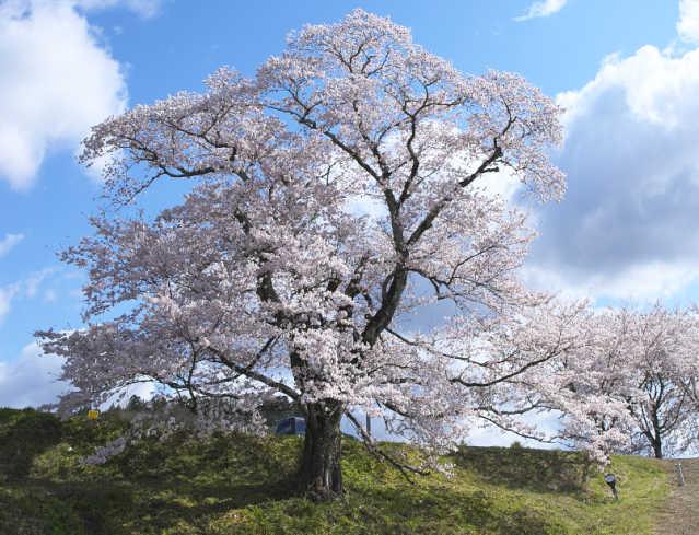 般若時橋の桜
